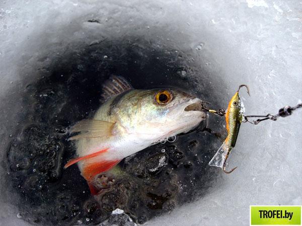 Первый этап Чемпионата Республики Беларусь по спортивной ловле со льда на зимнюю блесну