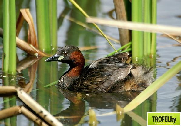 Озеро Богинское. Птица - Малая поганка